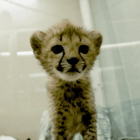 @_sinnamin Cheetah cubs are the cutest of all creatures on Earth. ❤️