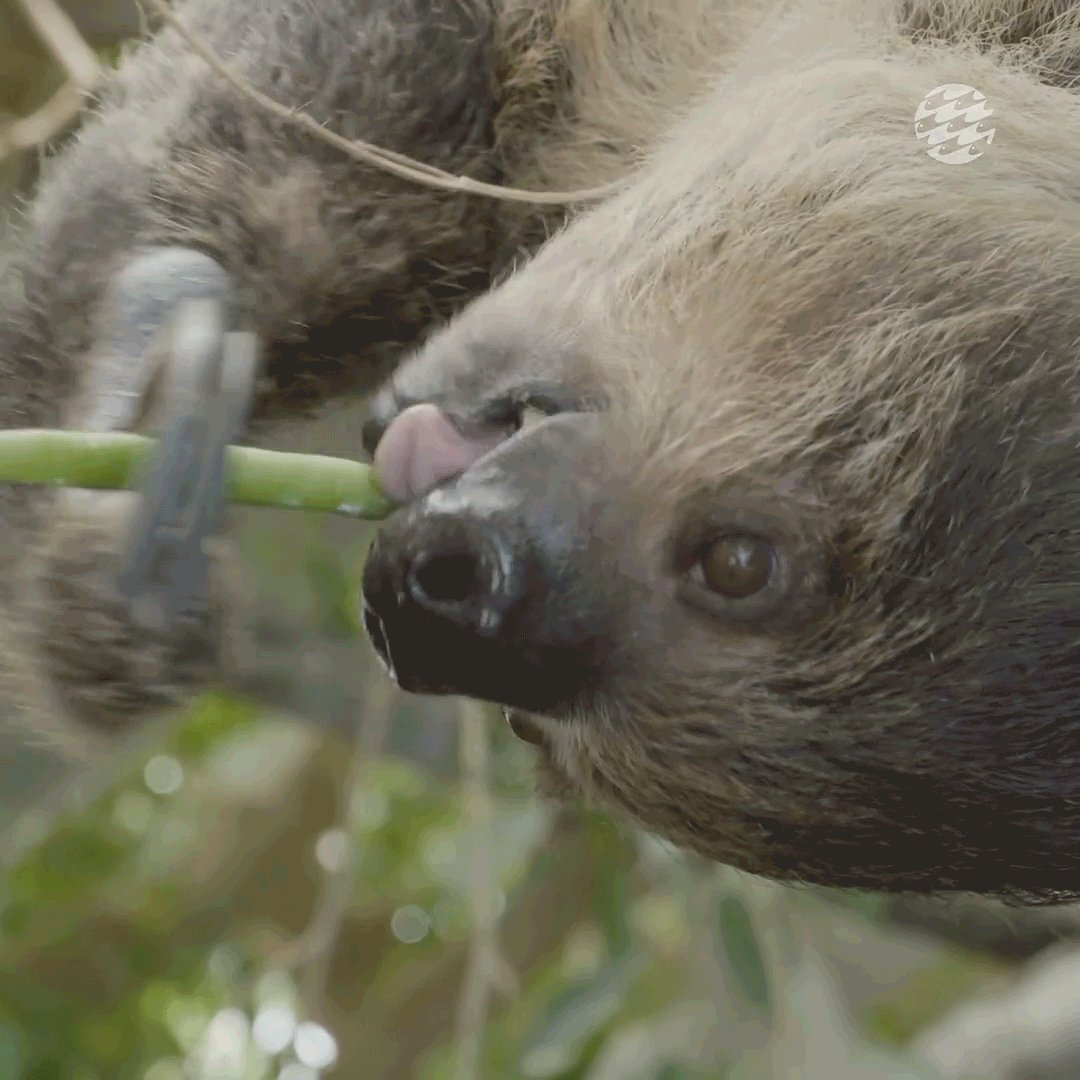 Sloth claws are multipurpose—both good for defense and conveying delicious green beans to mouths.