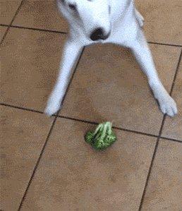 #WeirdGiftsForYourPets 🎁  Cruciferous vegetables! 🥦🐕💗🐾🐾  Broccoli, cauliflower, cabbage, curly kale, garden cress, bok choy, arugula, & BRUSSELS SPROUTS!!