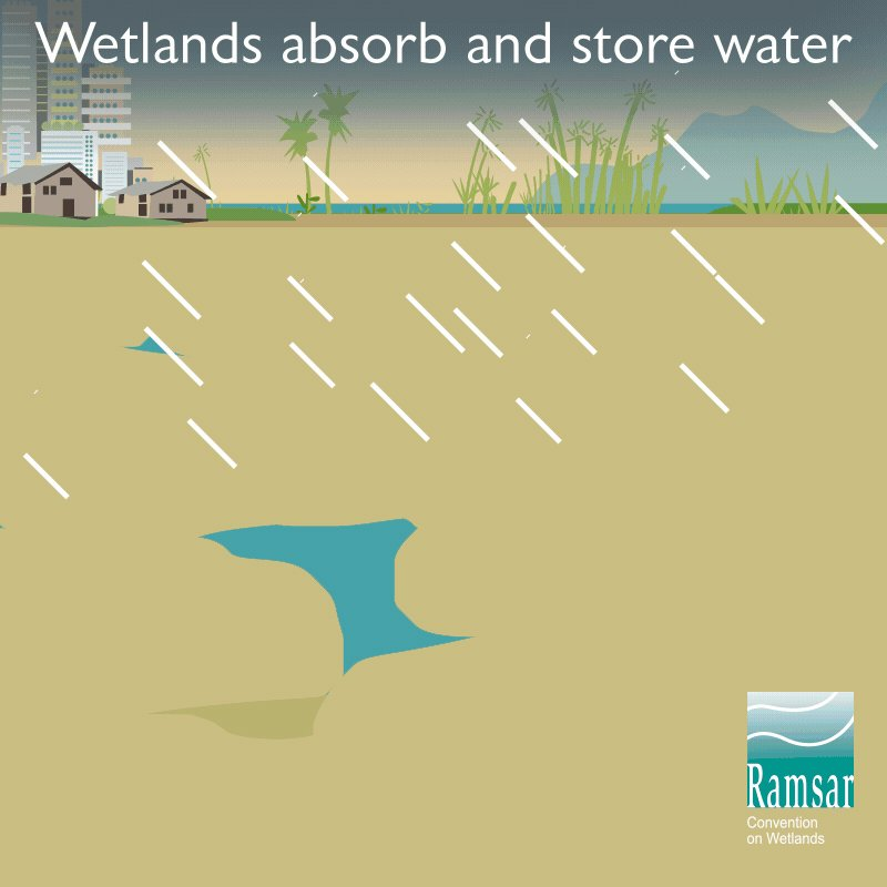 Image for the Tweet beginning: Did you know that #wetlands
