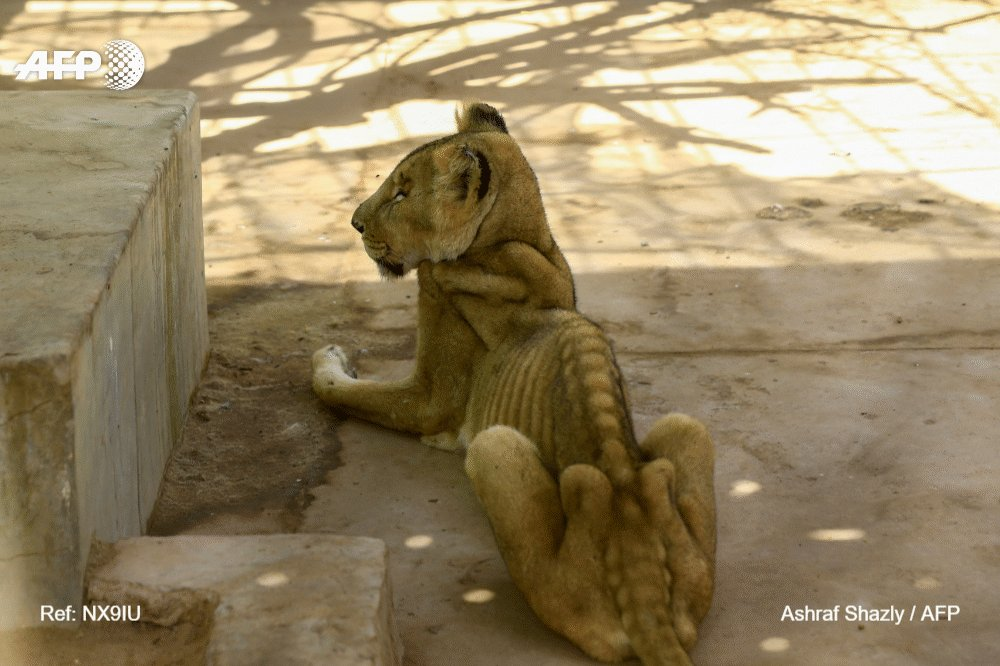 Sudanese people mobilize to save starving lions in a Khartoum zoo