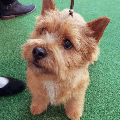 Norwich Terriers are alert, curious, and affectionate. #WKCDogShow