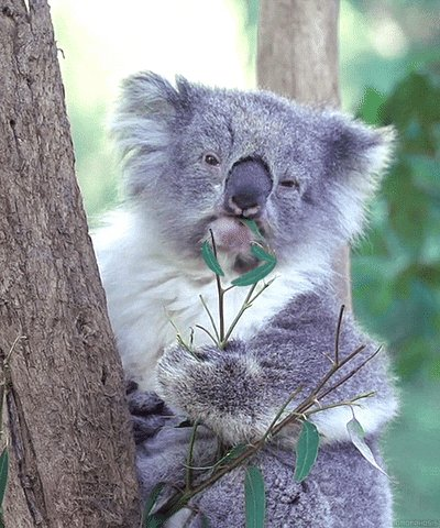 @qwiksylvr2012 What is a khalua? Does it have anything to do with...eucalyptus?