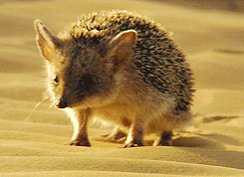 Wild Arabian hedgehog trundling through sand