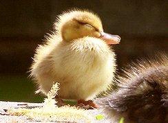 very cute duckling