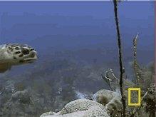 Turtle Hawksbill Turtle GIF