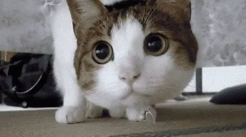 Cat Match GIF