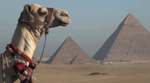 A camel with pyramids in the background.