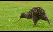 Run Kiwi GIF