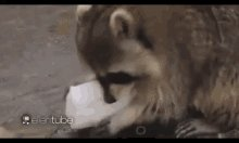Cottoncandy Racoon GIF