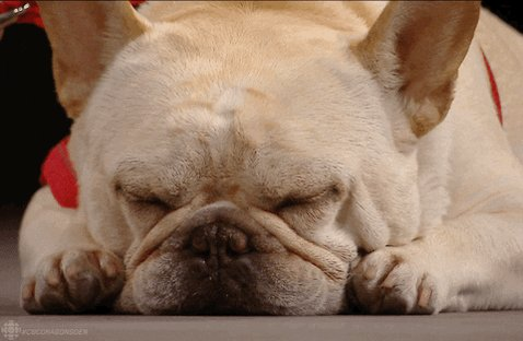 sleepy french bulldog #frenchbulldog #goldenretriever #puppylove