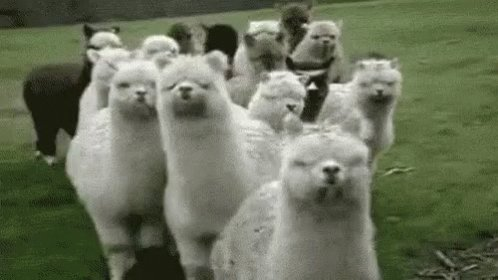 Guess what day it is? Guess what day it is? National Llama🦙 Day. A cousin-ish to the camel, llamas are good guard animals and like to hum. Of course, they also have no time for drama. #LlamaDay #animalfacts https://t.co/ngkKXS1Cl3