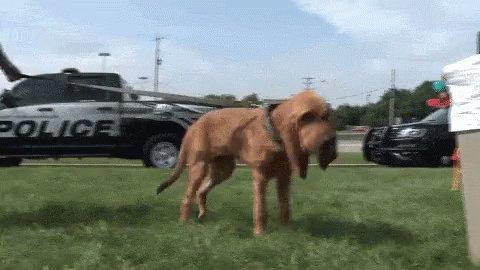 Bloodhound Police Dog GIF