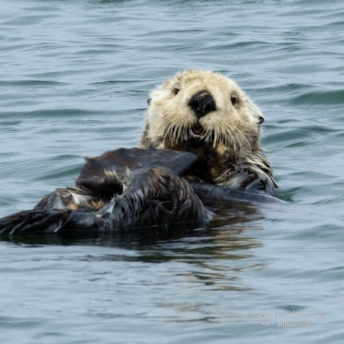 sea otter beauty GIF by Monterey Bay Aquarium