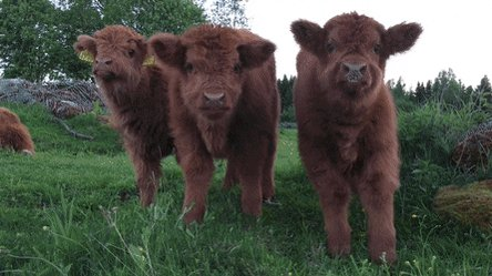 saw a tiktok about cute fuzzy cows this morning and im still thinking about them