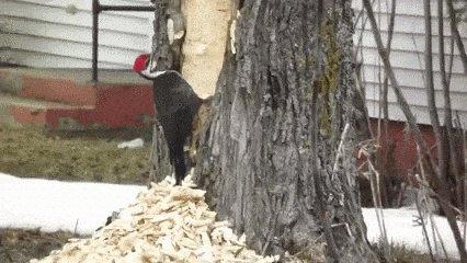 woodpecker GIF