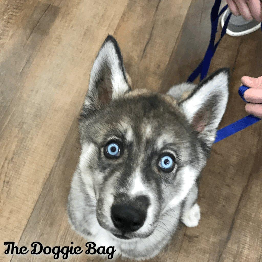Got my Eye on You Saturday! 👀  #loki #husky #huskypuppy #huskylove #thatface #blueeyes #happysaturday #weekendvibes #weekend #thedoggiebag #saturdaymorning #petboutique #shoplakeland #dogsoflakeland #lakelanddogs #dogmomsoflkld #lakelandflorida #lakekandfl