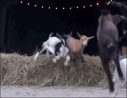 rad goats GIF
