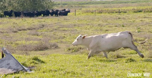 Cattle Roping The Cowboy Way Alabama GIF