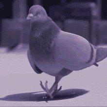 Pigeon Vibes GIF