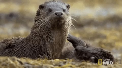 A busy mother otter provides a meal for her cubs