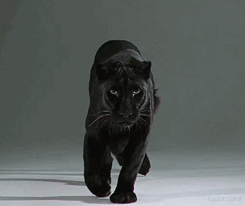 Panther Panthers GIF
