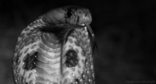 black and white snake GIF