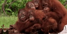 Orangutan Family GIF