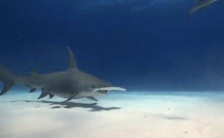 Hammerhead Shark GIF