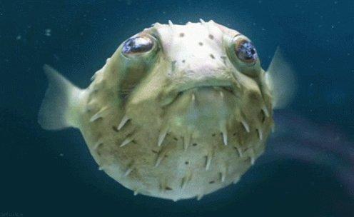 Fish Blowfish GIF